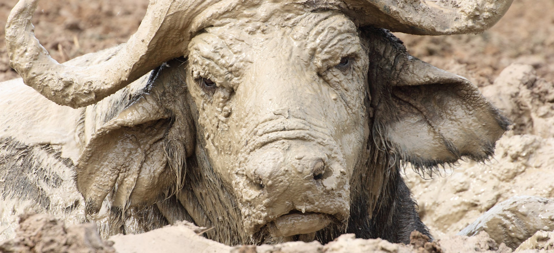 Buffalo-in-mud